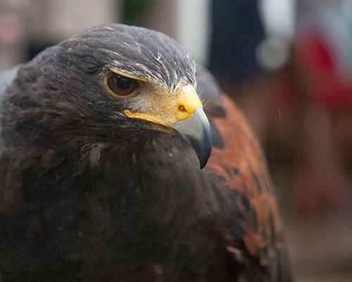 Emir de Harris hawk