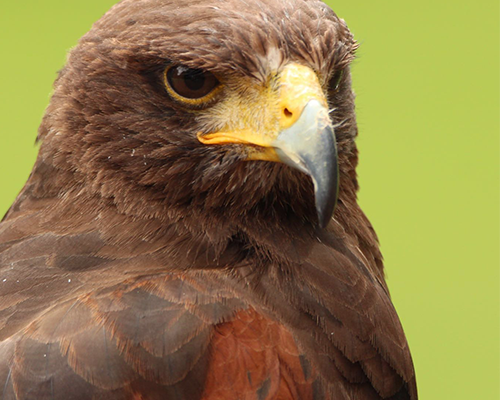 Sultan de Harris Hawk