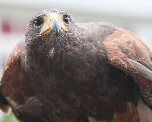 Diana de Harris hawk